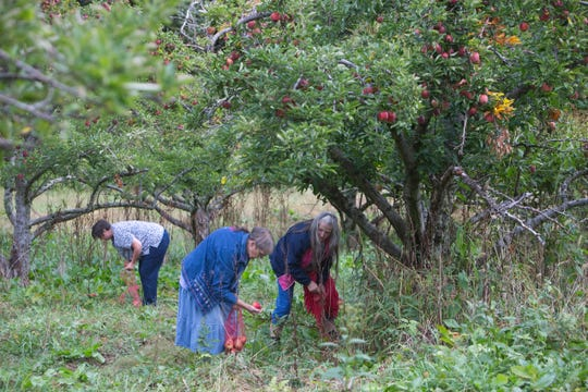 From left, Cathryn Smith,  Betty Sue Lowe and Rosa Lee Jackson glean apples in Boones Mill, Va. on Oct. 10, 2019.  Apples, some of them mushy but others perfectly fine, litter the ground and emit a sweet smell. The orchard is quiet on this gray morning, save for the occasional gentle shake of a branch, followed by the thud of apples hitting the ground.