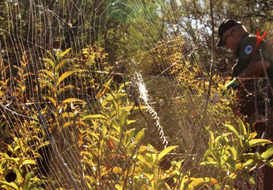 Mike Cornett, volunteer chief for the Texas Parks & Wildlife, searches for trash near an orb-weaver spider's web that glistens in the morning sun at Kirby Lake. Oct. 19 2019