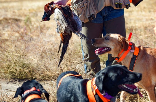 A hunter holds a pheasant in front of the dogs during the season opener on Saturday, October 19, in Mitchell.