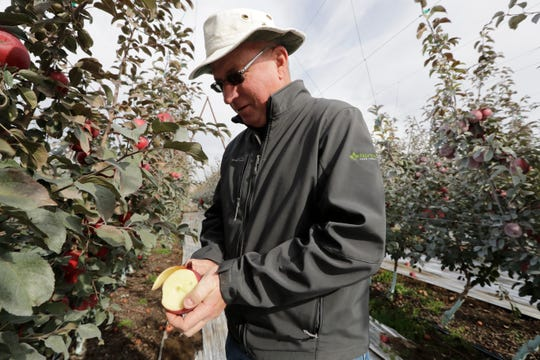 In this photo taken Tuesday, October 15, 2019, Aaron Clark, Vice President of Price Cold Storage, cuts to a Cosmic Crisp apple, a new variant and the first-dependent to breed in the state of Washington, after pulling it off a three in an orchard in Wapato, Wash.