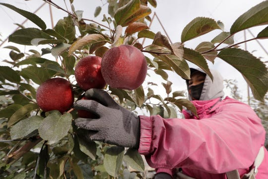 In this photo taken Tuesday, October 15, 2019, Sagrario Ochoa chooses a Cosmic Crisp apple, a new variety and the first ever bred in the state of Washington, in an orchard in Wapato, Wash.
