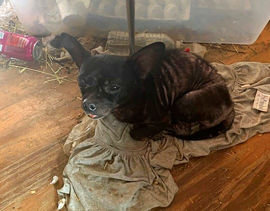 In this Sunday, Oct. 20, 2019 photo made available by the Edgewater Police Department, Fla.,  a small dog living with a family and over 200 other animals lies on the floor of the home in Edgewater, Fla.