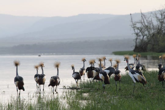 Endangered grey crowned cranes.