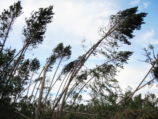Though still standing, trees like these in the Chequamegon-Nicolet National Forest in northern Wisconsin are considered lost following a July 19 windstorm. They have little value as saw timber, given likely internal damage, rangers say.