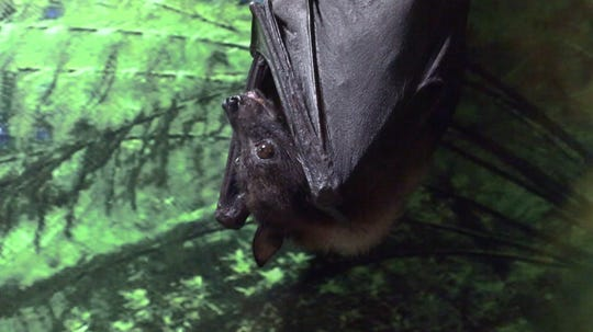 The Indian flying fox bat can have a wingspan of up to four feet. This guy makes his home at The Wildlife Conservation & Education Center in Garfield.