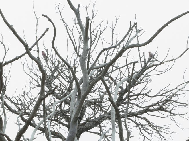 """Dead piñon (tree) where birds gather in autumn, from """"Where I Live I Hope to Know, New Mexico."""""""