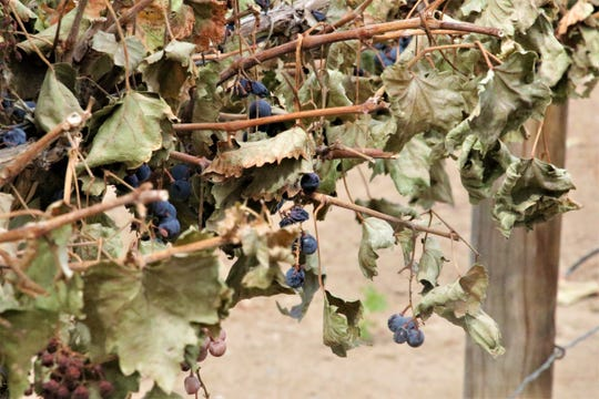 Closeup of grapes left on the vine at Rio Suave Vineyard in Blanco.