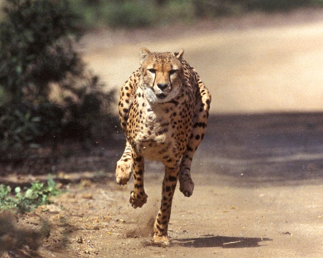 Majani, a two-year-old male African cheetah, exhibits lighting speed while chasing a mechanical rabbit at the San Diego Zoo's Wild Animal Park in 2004.