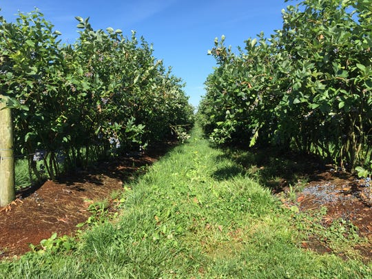 An aisle of blueberry plants at Hazelgreen Farms near Silverton.