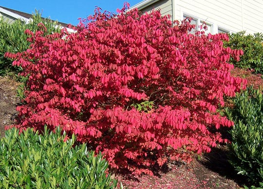 Burning bush (Euonymus alatus) puts on a quite the show with fall color.