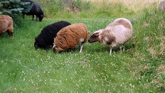 Icelandic sheep are a unique breed that provide wool and meat.  They are the favorite critters of Neosho entrepreneur Jeanne Telderer.