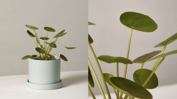 Best gifts for best friends 2019: Pilea Peperomioides