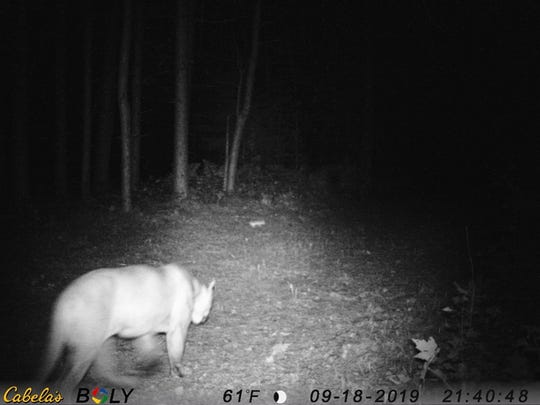 A trail camera in Michigan's Upper Peninsula captured an image of a cougar in northern Delta County Sept. 19, 2019.