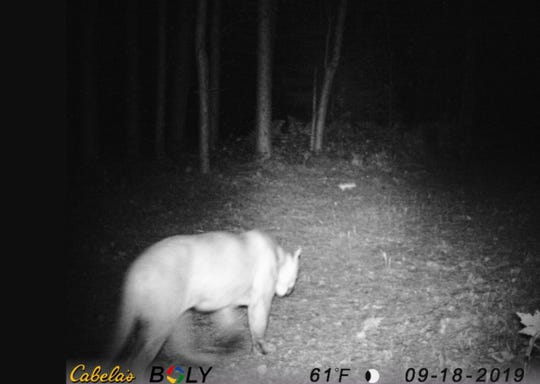 State officials said two trail cameras in the Upper Peninsula captured images of a cougar on Sept. 18, 2019, and Oct. 6, 2019.