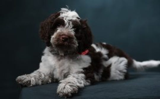 Rowan is in training to become the University of Mississippi's first-ever therapy dog.