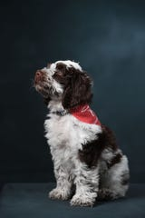 Rowan, a soon-to-be therapy dog for the University of Mississippi's counseling center, mugs for the camera.