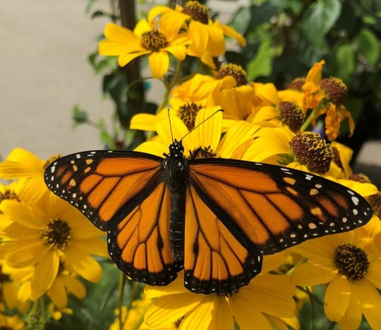 A monarch butterfly lands on a flower. Milkweed is the favorite plant of the monarch.