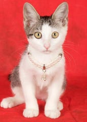 Pineapple is available for adoption at 952 W. Melody Ave. in Gilbert. For more information, call 480-497-8296 or email FFLcats@azfriends.org.