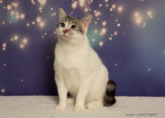Hi, I'm Angie! My beautiful white coat and bright blue eyes may reel you in, but my personality is what will win you over! I appear quiet and a bit introverted, but that's only because the shelter is a busy place, and I prefer a more natural, relaxed home environment. I'm well-mannered, calm and committed, not to mention young – I'm three! And I'm available for adoption at Nevada Humane Society in Reno, open daily for pet adoptions from 11 a.m. to 6:30 p.m. or by calling 775-856-2000.