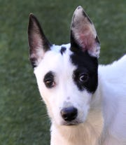 Say hello to Dixie. She is a 6 or 7-month old Cowdog mix that is looking for her new home. She is well behaved and loves everyone she meets. You can find Dixie with her doggy friends at the Wichita Falls Animal Service Center.