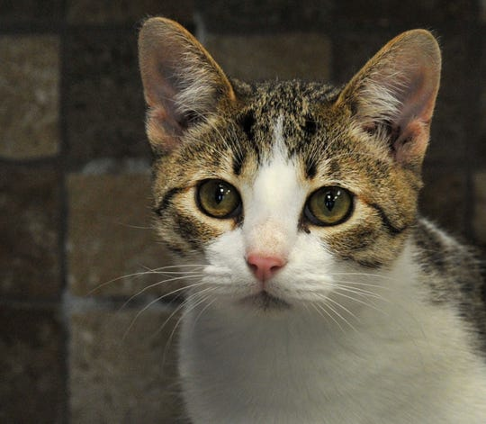 Meet Mr. Dinkles. He is a 7-month-old domestic short-haired cat that wants to find his fur-ever home. He is family-friendly and good with other cats, he is not sure about dogs. You can find Mr. Dinkles and all of his feline friends at the Wichita Falls Animal Service Center.