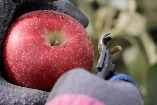 In this photo taken Tuesday, Oct. 15, 2019, a worker snips off the hard stem on a Cosmic Crisp apple, a new variety and the first-ever bred in Washington state, just after pulling it off a tree at an orchard in Wapato, Wash. Workers cut the stem below the top of every Cosmic Crisp apple to prevent damage to the fruit during transportation and storage. The Cosmic Crisp, available beginning Dec. 1, is expected to be a game changer in the apple industry. Already, growers have planted 12 million Cosmic Crisp apple trees, a sign of confidence in the new variety.