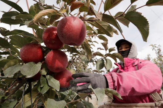In this photo taken Tuesday, Oct. 15, 2019, Sagrario Ochoa reaches to pick a Cosmic Crisp apple, a new variety and the first-ever bred in Washington state, in an orchard in Wapato, Wash. The Cosmic Crisp, available beginning Dec. 1, is expected to be a game changer in the apple industry. Already, growers have planted 12 million Cosmic Crisp apple trees, a sign of confidence in the new variety.