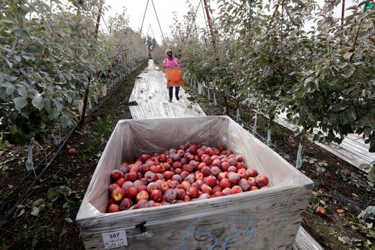 In this photo taken Tuesday, Oct. 15, 2019, Sagrario Ochoa carries a picking bag full of Cosmic Crisp apples, a new variety and the first-ever bred in Washington state, to a bin in an orchard in Wapato, Wash. The Cosmic Crisp, available beginning Dec. 1, is expected to be a game changer in the apple industry. Already, growers have planted 12 million Cosmic Crisp apple trees, a sign of confidence in the new variety.