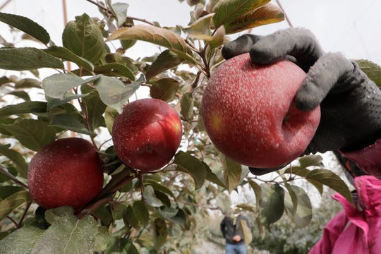 In this photo taken Tuesday, Oct. 15, 2019, a Cosmic Crisp apple, partially coated with a white kaolin clay to protect it from sunburn, is picked at an orchard in Wapato, Wash. The Cosmic Crisp, a new variety and the first-ever bred in Washington state, will be available beginning Dec. 1 and is expected to be a game changer in the apple industry. Already, growers have planted 12 million Cosmic Crisp apple trees, a sign of confidence in the new variety.