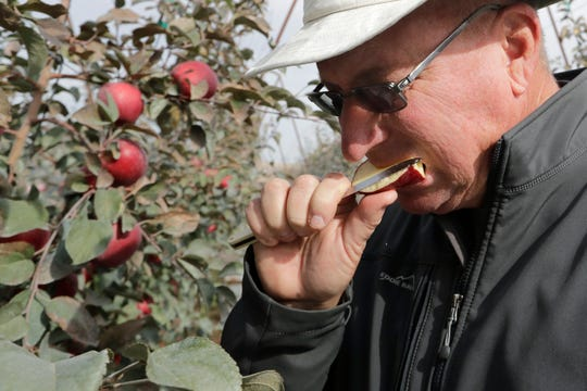 In this photo taken Tuesday, Oct. 15, 2019, Aaron Clark, vice president of Price Cold Storage, bites into a slice from a Cosmic Crisp apple, a new variety and the first-ever bred in Washington state, after pulling it off a tree in an orchard in Wapato, Wash. The Cosmic Crisp, available beginning Dec. 1, is expected to be a game changer in the apple industry. Already, growers have planted 12 million Cosmic Crisp apple trees, a sign of confidence in the new variety.