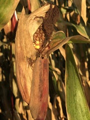 If a frost occurs when corn is at the early dent stage, then whole corn may need to dry a couple days before it is ready to harvest.