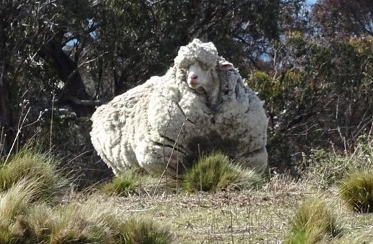 Chris, the record-breaking Merino who tugged at animal lovers' hearts with his heavy coat, has died, an Australian animal sanctuary says.