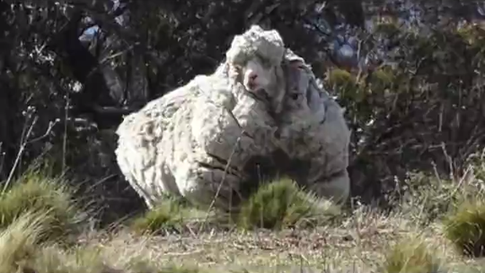 'He will live on': Chris, the sheep with world's heaviest wool, mourned by animal lovers