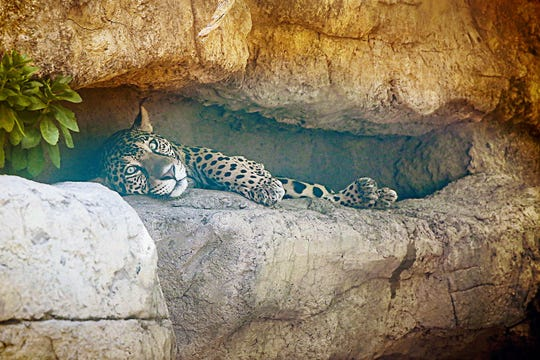The 4-year-old jaguar Estrella at the Abilene Zoo has been diagnosed with chronic myeloid leukemia, a rare form of cancer, the zoo said Wednesday.