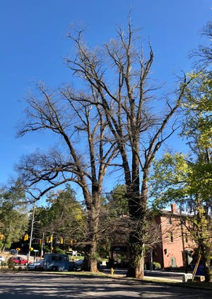 These two elm trees by Fuddruckers on Chestnut Street, estimated to be at least 150 years old, will have to be cut down. They're near power lines and have died.