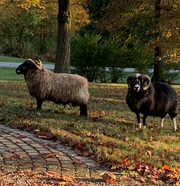 Rams spotted were in Pierce Township Wednesday.