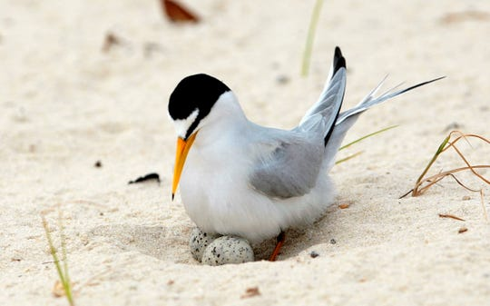FILE - In this Saturday, May 1, 2010 file photo, a least tern checks her two eggs on the beach in Gulfport, Miss.