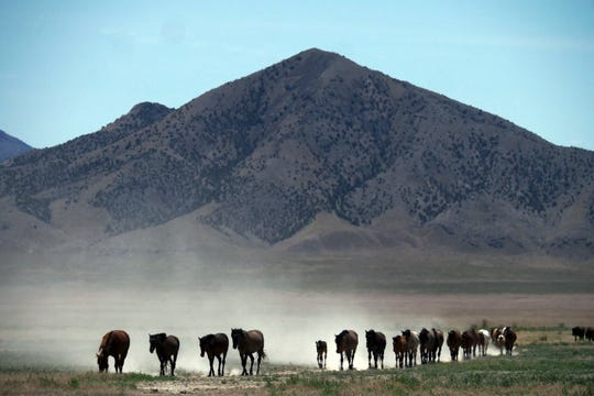 FILE - In this June 29, 2018, file photo, wild horses walk to a watering hole outside Salt Lake City. Harsh drought conditions in parts of the American West are pushing wild horses to the brink and forcing extreme measures to protect them. Acting U.S. Bureau of Land Management Director William Perry Pendley says it will take $5 billion and 15 years to get an overpopulation of wild horses under control on western federal lands. But he told reporters Wednesday, Oct, 23, 2019, several new developments have made him more optimistic than he's been in years about his agency's ability to eventually shrink the size of the herds from 88,000 to the 27,000 he says the range can sustain ecologically. (AP Photo/Rick Bowmer, File)