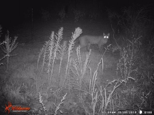 Video footage of a possible Bobcat spotted in Lafayette Oct. 8.