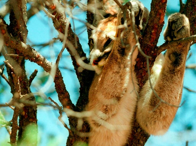 In this Aug. 22, 2001 file photo showing a mountain lion doses above in the branches of a piñon tree before being tranquilized by wildlife officials outside a home in Pecos. New Mexico wildlife officials say new technology is allowing the state to estimate its cougar population more accurately.