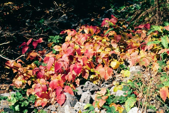 Enjoy poison ivy from afar, as it displays vibrant red and purple fall colors.