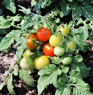 The winter climate is generally frost-free and the sun-angle is high enough to keep the sandy soils warm even if the air is cool; great weather for growing tomatoes, pictured, and other veggies. Simply put, the fall and winter provide a less stressful growing environment and many traditional temperate garden plants flourish this time of year in Treasure Coast gardens.