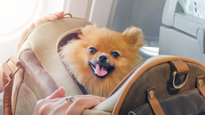 Should you fly with your pet? Ask yourself these questions first