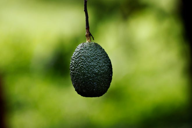 """This Oct. 1, 2019 photo shows an avocado hanging in an orchard near Ziracuaretiro, in the Mexican state of Michoacan state, the heartland of world production of the fruit locals call """"green gold.""""  The country supplies about 43% of world avocado exports, almost all from Michoacan."""