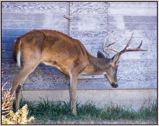 White tailed deer showing symptoms of Chronic Wasting Disease