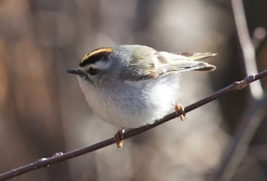 A tiny golden-crowned kinglet, a late-season migrant at Woodland Dunes Nature Center and Preserve in Two Rivers.