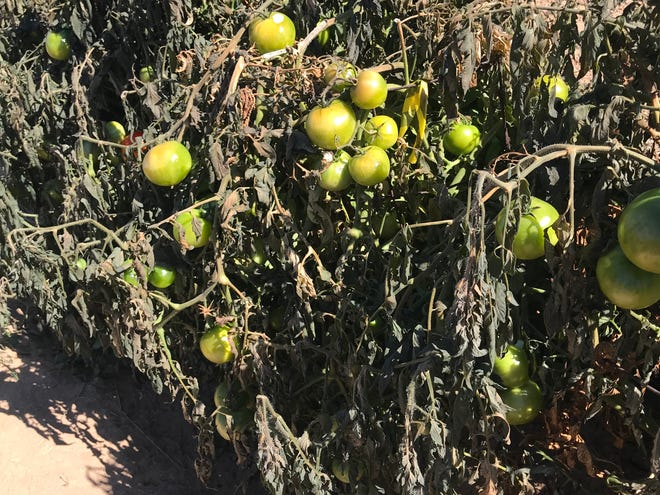 Gardeners were recently able to harvest and weigh over 1,100 pounds of unripe tomatoes from frost-bitten plants at the NMSU Agricultural Science Center at Los Lunas.