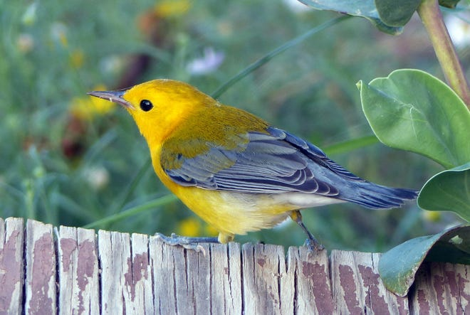 A prothonotary warbler visits a Mesilla Valley yard.