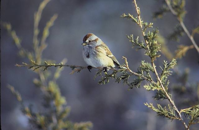 An American Tree Sparrow 8632 million birds from the sparrow family have been lost since 1970.