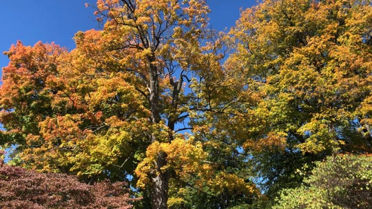Golden leaves in Gypsy Hill Park on Oct. 17, 2019.